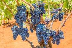 Grape plant with bunches blue grapes. Grape plant with bunches of blue grapes in vineyard Stock Photography