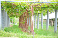 Grape plant. With cover in farm Stock Photography