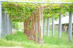Grape plant Stock Photography