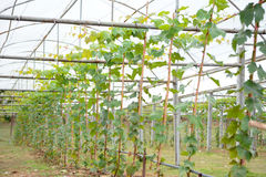 Grape plant. With cover in farm Stock Image