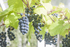Grape plant Stock Photo