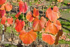 Grape plant leaves. Red Grape plant leaves in fall Royalty Free Stock Photos