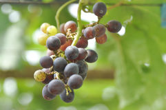 Grape plant in the orchard. Grape,grape plant in the orchard Royalty Free Stock Image
