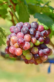 Grape plant Royalty Free Stock Photo