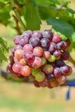 Grape plant Royalty Free Stock Photo