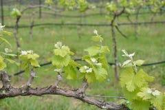 Grape plant Stock Images