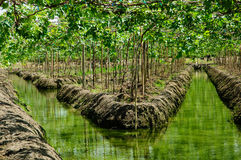 Grape plant or Vineyards and irrigation canals in Thailand. Grape plant / Vineyards and irrigation canals in Thailand - Horizontal image Royalty Free Stock Photo