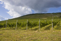 Grape plantation. In Eger, Hungary Royalty Free Stock Photography