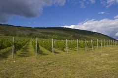 Grape plantation royalty free stock photos