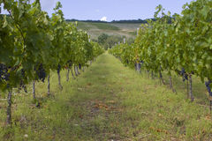 Grape plantation. In Eger, Hungary Royalty Free Stock Photo