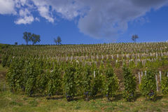 Grape plantation. In Eger, Hungary Royalty Free Stock Images