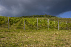 Grape plantation. In Eger, Hungary Stock Photo