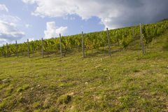 Grape plantation. In Eger, Hungary Stock Images