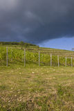 Grape plantation. In Eger, Hungary Stock Photos