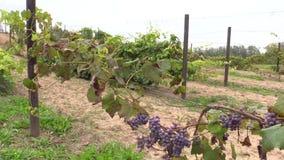 Grape plantation branch entwine on stake stock video
