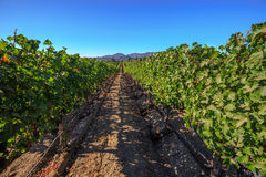 Grape plantation of California. Lush, ripe wine grapes on the vine. Napa Valley, a world famous wine area, is one of the most popular tourist destinations in Stock Photo