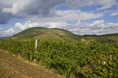 Grape plantation in Eger Royalty Free Stock Images