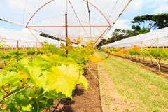 Grape plantation in glasshouse Stock Photos