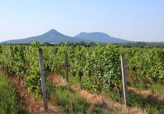Grape plantation and mount Toti and Gulacs royalty free stock photo
