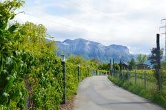 Grape plantation near Caldaro Lake in Bolzano/Bozen, Italy.  royalty free stock photography