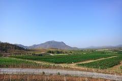 Grape plantation near mountain Royalty Free Stock Image