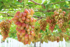 Grape plantation Royalty Free Stock Photo