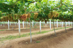 Grape plantation Royalty Free Stock Photo
