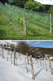 Grape plantation in summer and winter Royalty Free Stock Photos