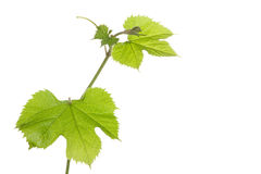 Grape plants with leaves Royalty Free Stock Photos