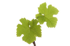 Grape plants with leaves Stock Photography