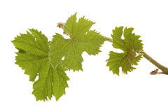 Grape plants with leaves Stock Image