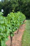 Grape plants Royalty Free Stock Images