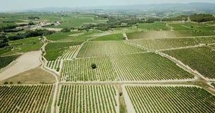 Grape plants in Spain