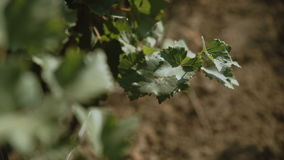 Grape plants at vineyard waving at wind at sunny spring day; no people;