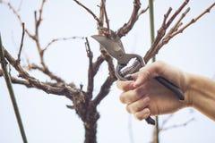 Grape pruning Royalty Free Stock Image