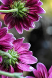 Grape purple daisies catching the light Stock Images