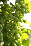 Grape racemation Royalty Free Stock Images