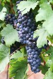 Grape for red wine. Mature grape for red wine Stock Images