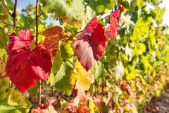 Grape red yellow leaves vine Autumn nature background. Grape red yellow leaves on the vine. Autumn nature background stock photo