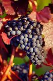 grape from the Remstal Stock Photos