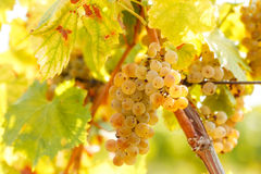 Grape Riesling on grape vine in vineyard Stock Photo