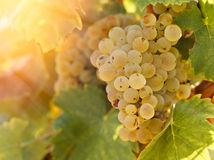 Grape Riesling in vineyard in late afternoon Royalty Free Stock Images