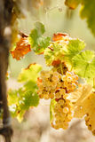 Grape Riesling (wine grape) on grapevine. Golden grape Riesling (wine grape) on grapevine in vineyard lit by sunlight Royalty Free Stock Photo