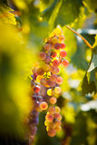 Grape. Ripe grape ready for harvest Royalty Free Stock Photo