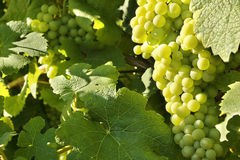 Grape ripening on the bush Stock Photos