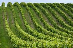 Grape Rows Stock Image