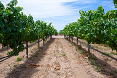 Grape Rows in Vineyard Stock Image