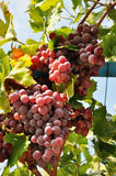Grape's abundance. Abundance of pink grape clusters Royalty Free Stock Image