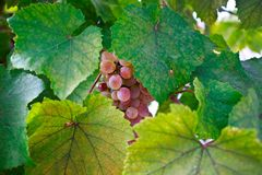 Grape. Sammer background leaf wine Royalty Free Stock Photo