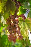 Grape. Sammer background leaf wine Stock Photos
